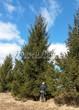 Посадка крупномеров Ели обыкновенной (Picea abies) - 212