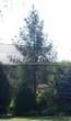 Посадка крупномеров Ели обыкновенной (Picea abies) - 213