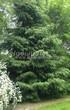 Посадка крупномеров Ели обыкновенной (Picea abies) - 214