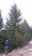 Посадка крупномеров Ели обыкновенной (Picea abies) - 215