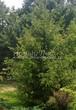 Посадка крупномеров Ели обыкновенной (Picea abies) - 216