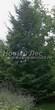 Посадка крупномеров Ели обыкновенной (Picea abies) - 217