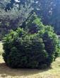 Посадка крупномеров Ели обыкновенной Барри (Picea abies 'Barryi') - 201