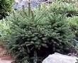 Посадка крупномеров Ели обыкновенной Барри (Picea abies 'Barryi') - 202