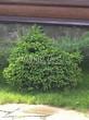 Посадка крупномеров Ели обыкновенной Барри (Picea abies 'Barryi') - 203