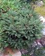 Посадка крупномеров Ели обыкновенной Барри (Picea abies 'Barryi') - 204