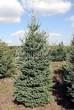 Посадка крупномеров Ели сизой (канадской) (Picea glauca) - 201