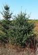 Посадка крупномеров Ели сизой (канадской) (Picea glauca) - 202