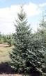 Посадка крупномеров Ели сизой (канадской) (Picea glauca) - 203