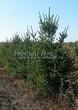 Посадка крупномеров Ели сизой (канадской) (Picea glauca) - 204