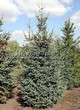 Посадка крупномеров Ели сизой (канадской) (Picea glauca) - 205