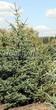 Посадка крупномеров Ели сизой (канадской) (Picea glauca) - 206