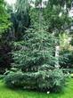 Посадка крупномеров Ели сизой (канадской) (Picea glauca) - 207