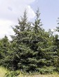 Посадка крупномеров Ели сизой (канадской) (Picea glauca) - 208