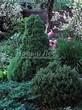 Посадка крупномеров Ели сизой Коника (Ели канадской Коника, Picea glauca 'Conica') - 201