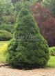 Посадка крупномеров Ели сизой Коника (Ели канадской Коника, Picea glauca 'Conica') - 202