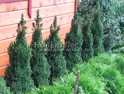 Посадка взрослых хвойных деревьев Ели сизой Коника