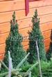 Посадка крупномеров Ели сизой Коника (Ели канадской Коника, Picea glauca 'Conica') - 205