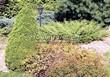 Посадка крупномеров Ели сизой Коника (Ели канадской Коника, Picea glauca 'Conica') - 206