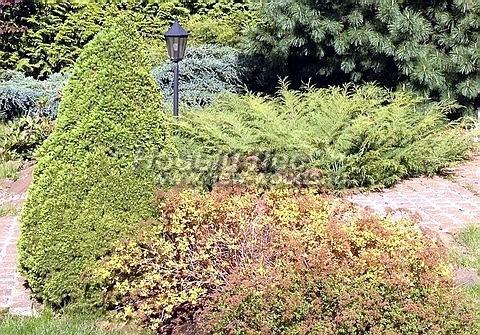 Посадка крупномеров Ели сизой Коника (Ели канадской Коника, Picea glauca 'Conica') - Фото 206 - Ель сизая Коника в силу её медленного роста является хорошим вертикальным декоративным акцентом