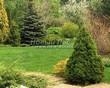 Посадка крупномеров Ели сизой Коника (Ели канадской Коника, Picea glauca 'Conica') - 207