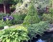Посадка крупномеров Ели сизой Коника (Ели канадской Коника, Picea glauca 'Conica') - 208