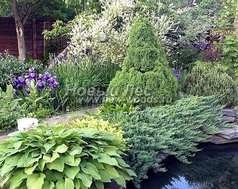 Посадка крупномеров Ели сизой Коника (Ели канадской Коника, Picea glauca 'Conica') - Фото 208 - Крупномер ели (высота 2 метра), придающий неповторимую красоту ландшафту с водоёмом на небольшом садовом участке