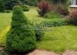 Посадка крупномеров Ели сизой Коника (Ели канадской Коника, Picea glauca 'Conica') - 209