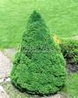 Посадка крупномеров Ели сизой Коника (Ели канадской Коника, Picea glauca 'Conica') - 210