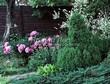Посадка крупномеров Ели сизой Коника (Ели канадской Коника, Picea glauca 'Conica') - 211