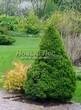 Посадка крупномеров Ели сизой Коника (Ели канадской Коника, Picea glauca 'Conica') - 212