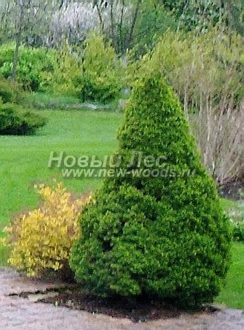 Посадка крупномеров Ели сизой Коника (Ели канадской Коника, Picea glauca 'Conica') - Фото 212 - Вечнозелёная ель Коника красива в любое время года и при любой погоде…
