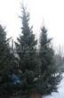 Посадка крупномеров Ели сербской (Picea omorika) - 201