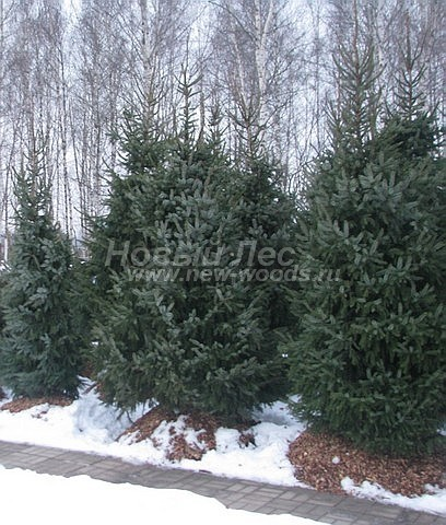 Посадка крупномеров хвойных деревьев Ели сербской