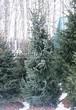 Посадка крупномеров Ели сербской (Picea omorika) - 203