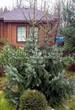 Посадка крупномеров Ели сербской (Picea omorika) - 204
