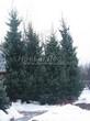 Посадка крупномеров Ели сербской (Picea omorika) - 205