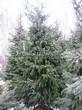 Посадка крупномеров Ели сербской (Picea omorika) - 206