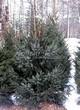 Посадка крупномеров Ели сербской (Picea omorika) - 207