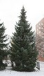 Посадка крупномеров Ели сербской (Picea omorika) - 208