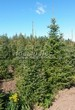 Посадка крупномеров Ели сербской (Picea omorika) - 209