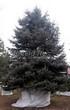 Посадка крупномеров Ели колючей (Picea pungens) (Ели голубой) - 201