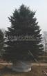 Посадка крупномеров Ели колючей (Picea pungens) (Ели голубой) - 202