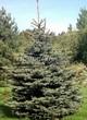 Посадка крупномеров Ели колючей (Picea pungens) (Ели голубой) - 203