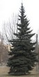 Посадка крупномеров Ели колючей (Picea pungens) (Ели голубой) - 204