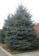 Посадка крупномеров Ели колючей (Picea pungens) (Ели голубой) - 205