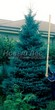 Посадка крупномеров Ели колючей (Picea pungens) (Ели голубой) - 206