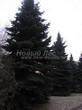 Посадка крупномеров Ели колючей (Picea pungens) (Ели голубой) - 208