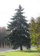 Хвойный крупномер Ель колючая (Ель голубая) (Picea pungens)