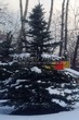 Посадка крупномеров Ели колючей (Picea pungens) (Ели голубой) - 210